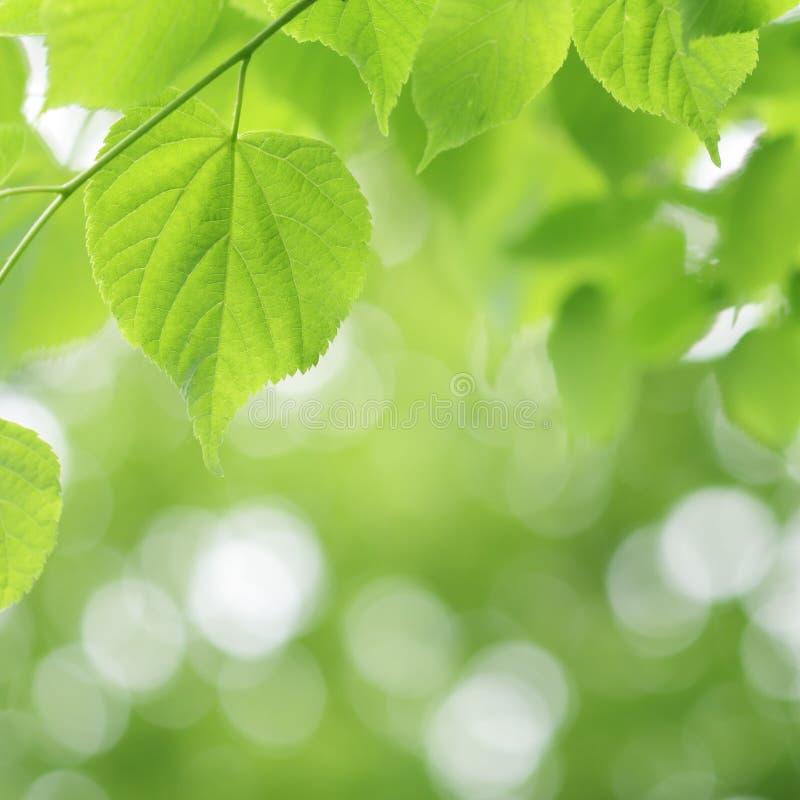 Ljus - grönt lindträd och suddig bakgrund arkivbild