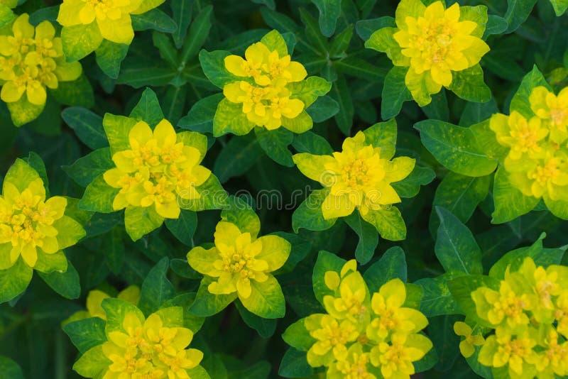 Ljus gul blommatextur Blom- modell, bakgrund, prydnad Euphorbiaepithymoides eller kuddespurge i arkivbilder