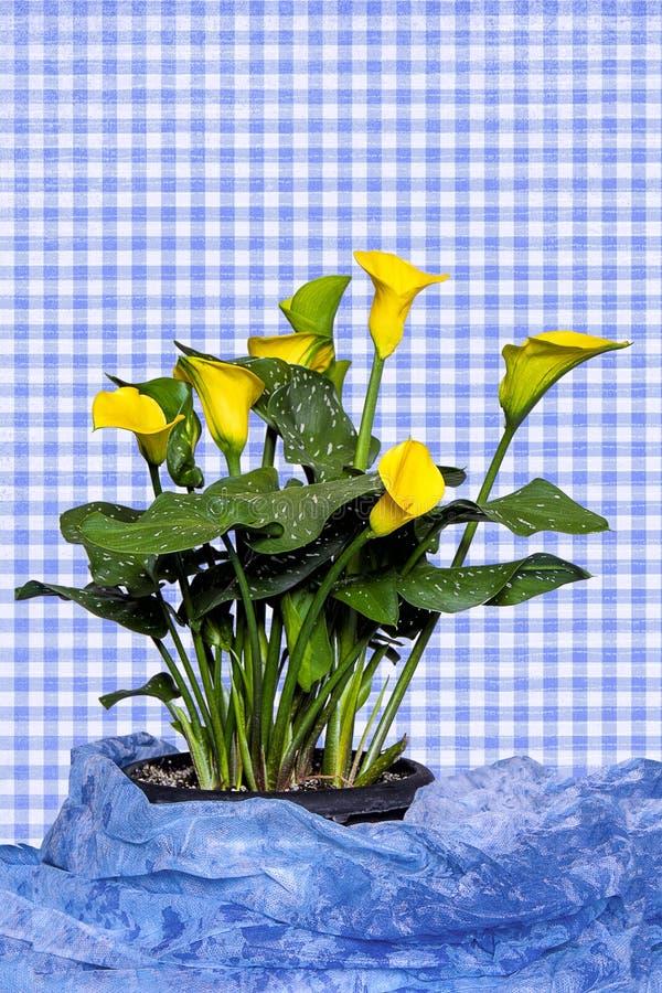 Ljus gul Calla Lilly Plant med blå ginghambakgrund och blått tyg på grunden vektor illustrationer