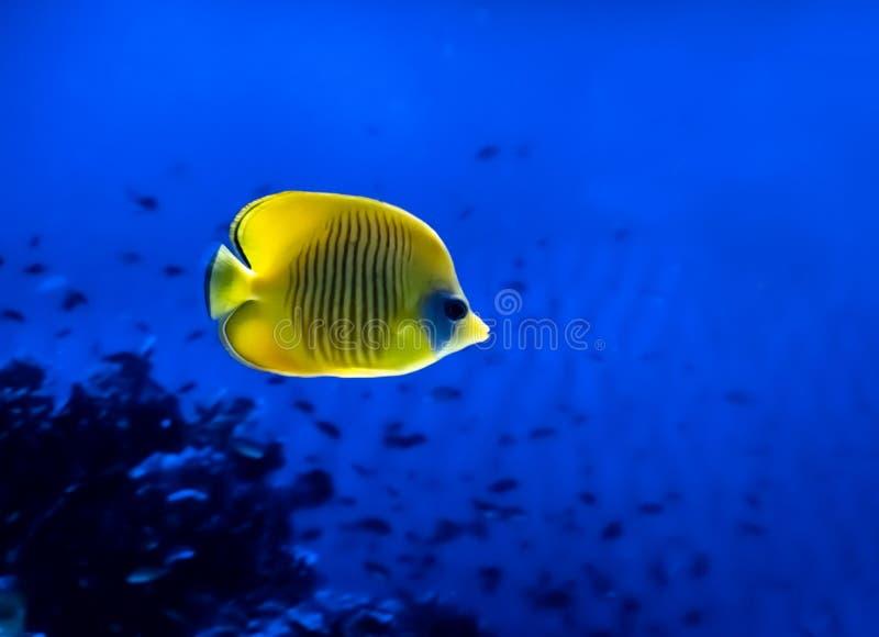 Ljus gul fisk som ?r undervattens- p? bakgrund av korall i R?da havet royaltyfri fotografi