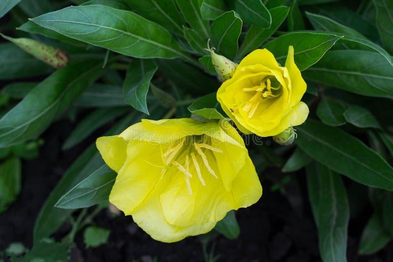 Ljus gul nattljus (oenothera) i trädgården arkivfoton