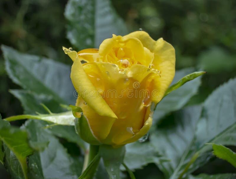 Ljus gul ros med stora regndroppar på grön bladbakgrund Roslyrisk dikt fotografering för bildbyråer