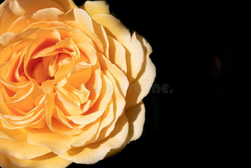 Ljus gul ros som isoleras mot en svart bakgrund arkivfoto