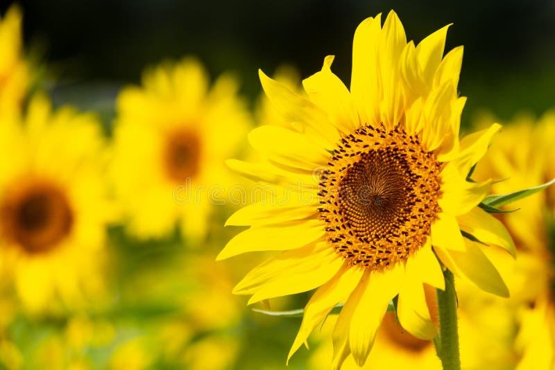 Ljus gul solros i ett blommande fält royaltyfri fotografi
