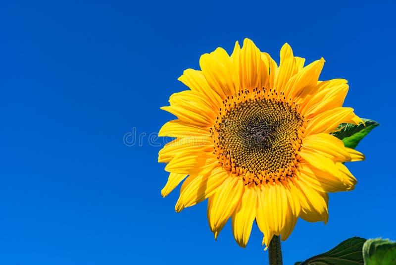 Ljus gul solros mot blå himmel arkivbild