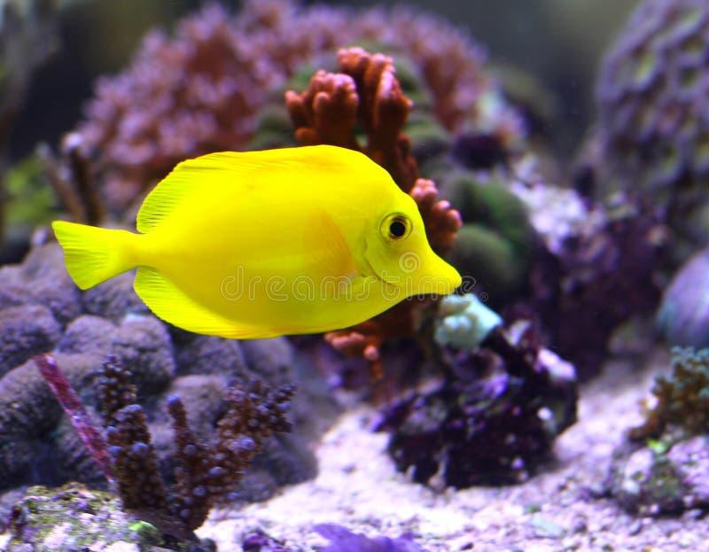 Ljus gul tropisk fisksimning royaltyfri fotografi