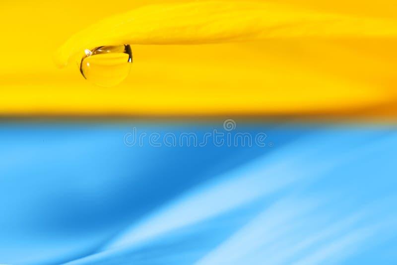 Ljus guling med en blå bakgrund med en droppe på kanten av makrokronbladet royaltyfri fotografi