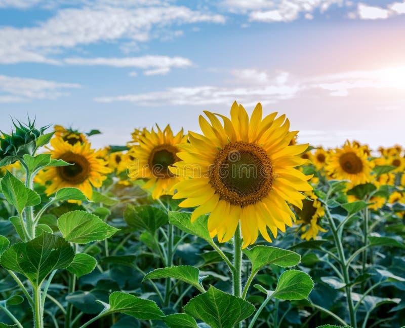 Ljus guling, orange solrosblomma på solrosfält royaltyfria foton