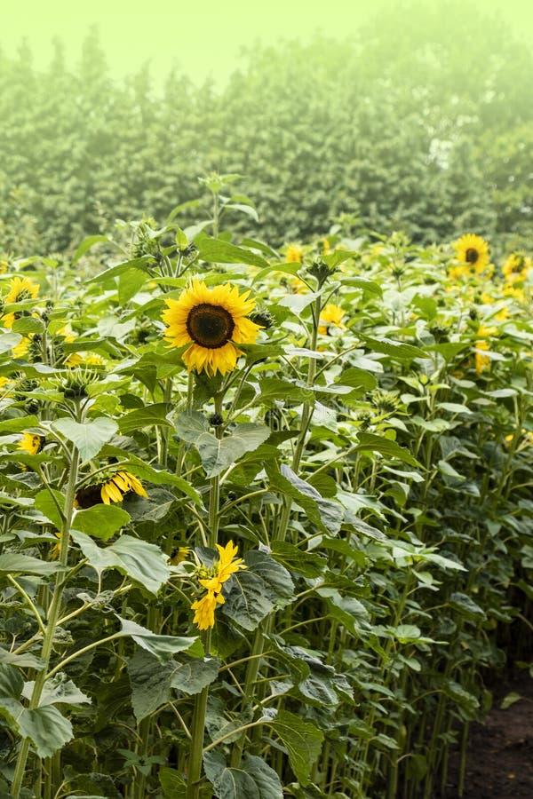 Ljus guling, orange solrosblomma p? solrosf?lt H?rligt lantligt landskap av solrosf?ltet i solig sommardag arkivbild