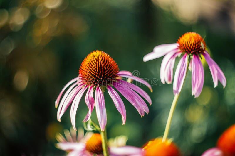 Ljus härlig rosa blomma på grön suddig bakgrund med bokeh echinaceamagnus purpurea Medicinsk användbar trädgård arkivbild