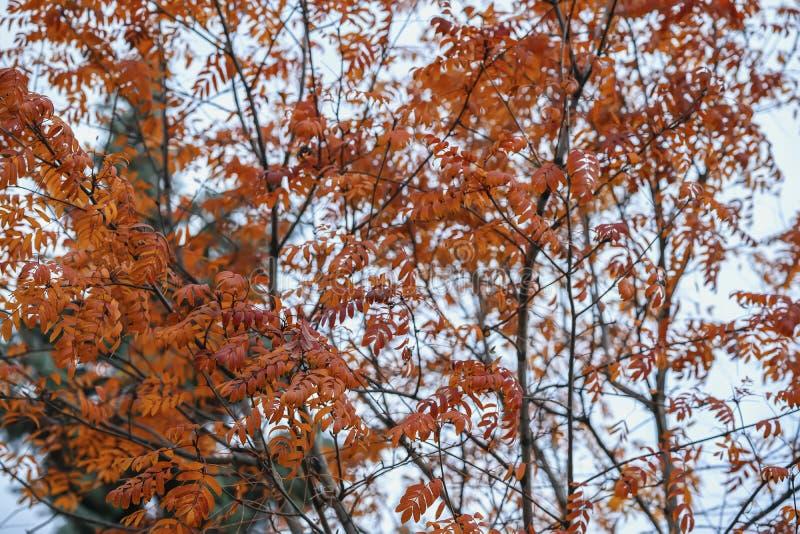 Ljus höstträdkrona, röda sistsidor Naturlig nedgångbakgrund Sceniska livliga färgrika trädfilialer för höst säsonger royaltyfria foton