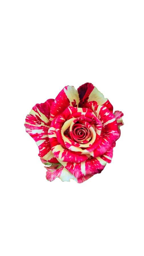 Ljus kombination av den röda och gula rosen på vit bakgrund för isolat royaltyfri foto