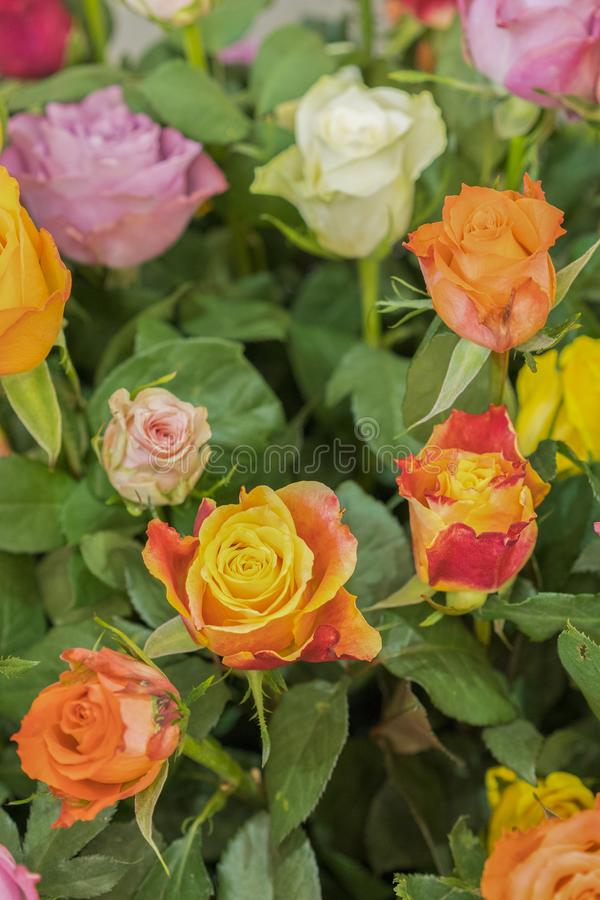 Ljus m?ngf?rgad bukett av rosor Naturlig blommabakgrund, mjuk fokus Färgrika rosor blommar bakgrund, grupp av royaltyfria foton