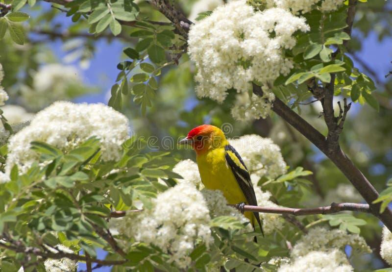Ljus manlig fågel för västra Tanager i blomningträd arkivfoto