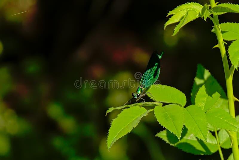 Ljus metallisk grön jewelwing damselfly - calopteryx royaltyfri fotografi