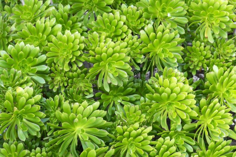 Ljus närbild - grön suckulent växtAeonium eller trädhouseleekbakgrund arkivbilder