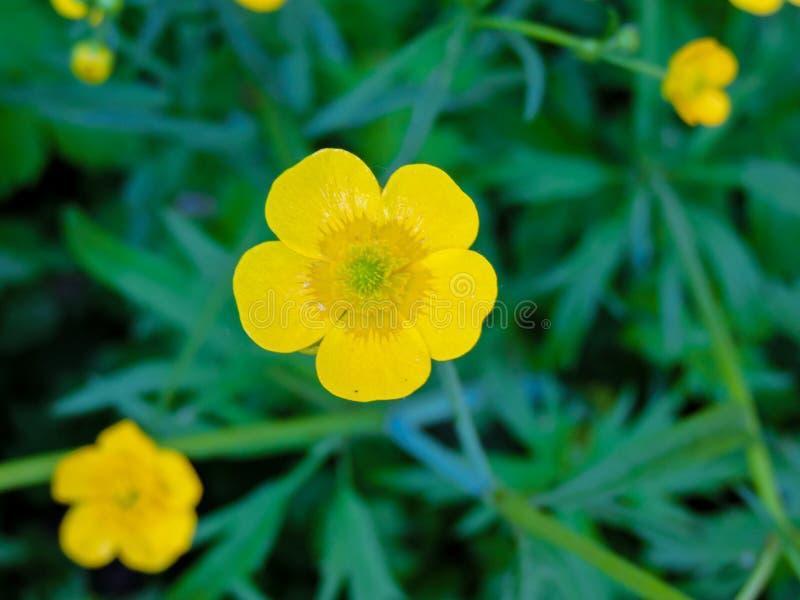 Ljus och h?rlig kosmosblomma f?lt av att blomma gula blommor Closeupbild av h?rlig blommav?ggbakgrund fotografering för bildbyråer