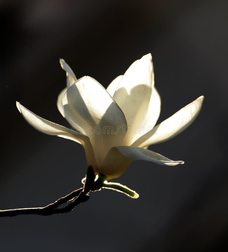 Ljus och klar magnolia royaltyfri foto