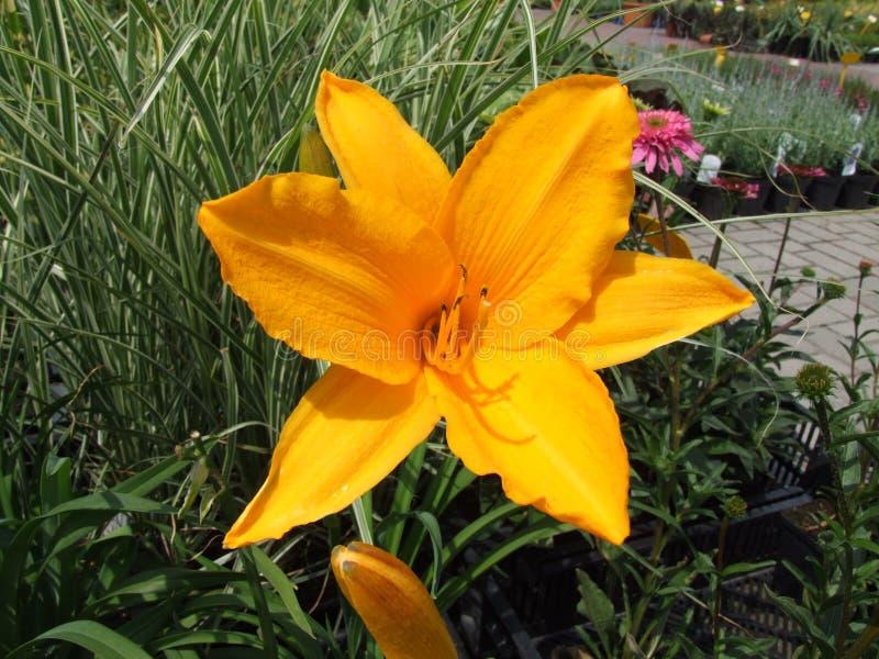 Ljus - orange blomma 1 fotografering för bildbyråer