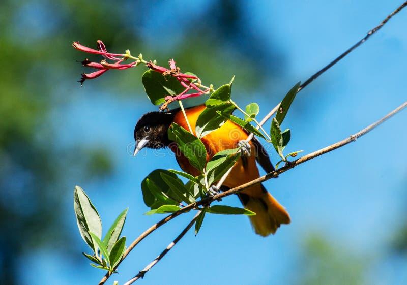 Ljus orange fågel med blå himmel royaltyfri foto