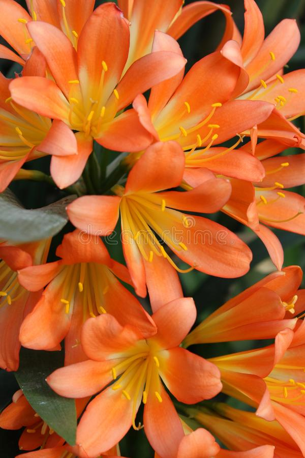 Ljus orange Kaffir Lily Flowers royaltyfri bild