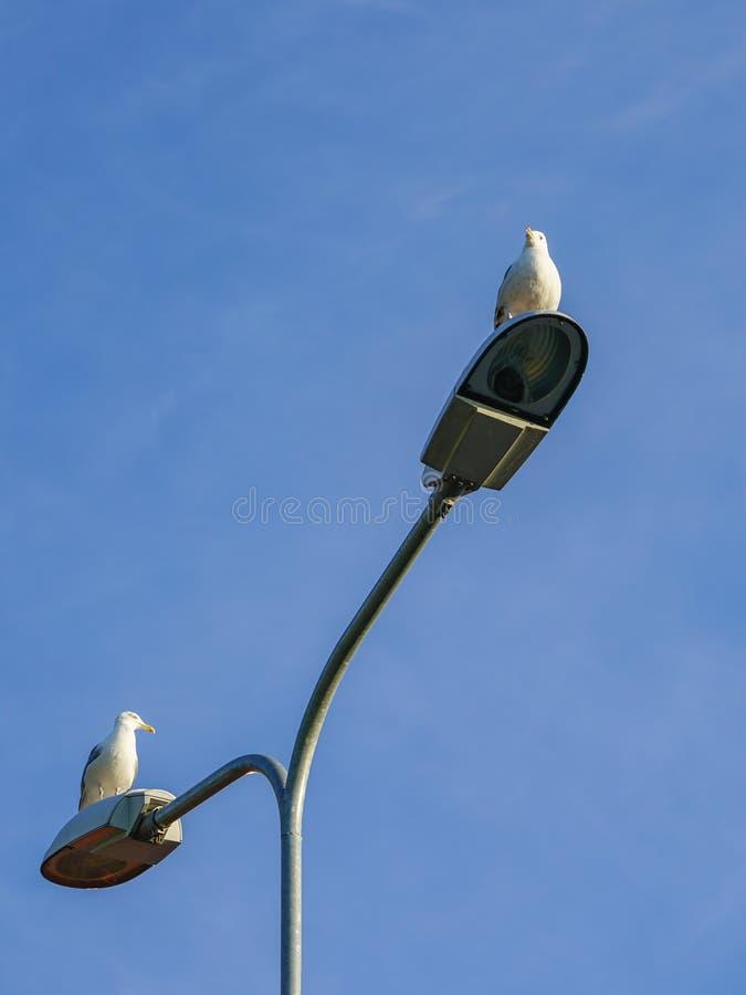 Ljus pol för gata med två lampor och fiskmåsar som sitter på dem arkivbilder