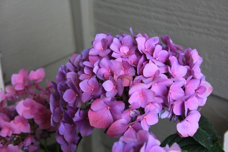 Ljus - purpurfärgad lavendelvanlig hortensiablom i en gård arkivbild