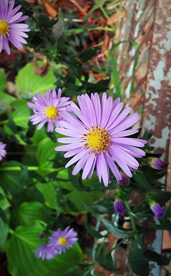 Ljus purpurfärgad tusensköna i höst arkivfoto