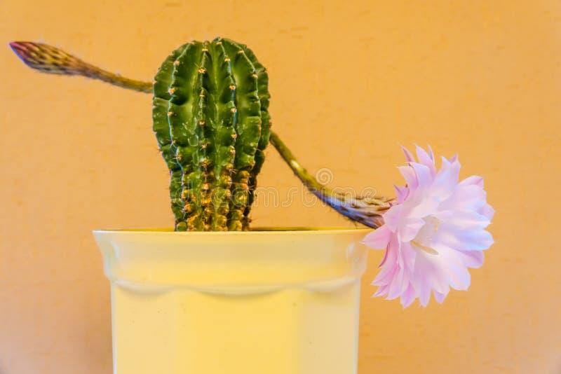 Ljus - purpurf?rgad blomma av kaktuns i ?ken Gul bakgrund royaltyfri bild