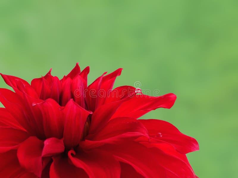 Ljus röd dahliablomma mot grön bakgrund royaltyfri fotografi
