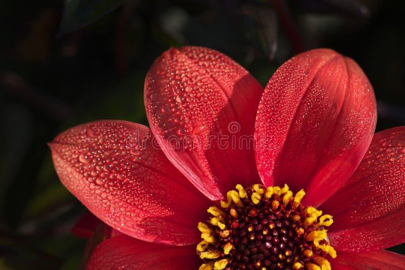 Ljus röd kulör dahliablomma på en mörk bakgrund arkivfoto