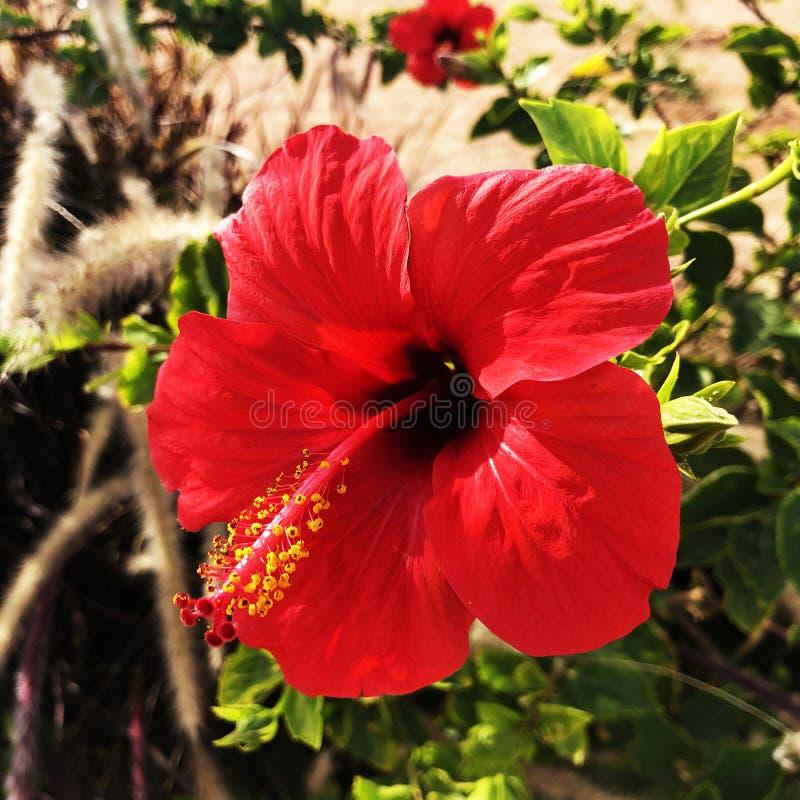 Ljus röd stor blomma av den röda hibiskusen på naturlig bakgrund för gröna sidor royaltyfri bild