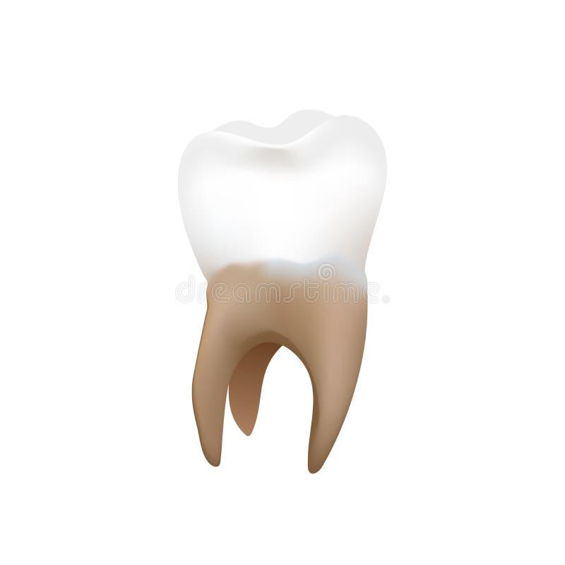 Ljus realistisk premolar, mänsklig tand som isoleras på vit stock illustrationer