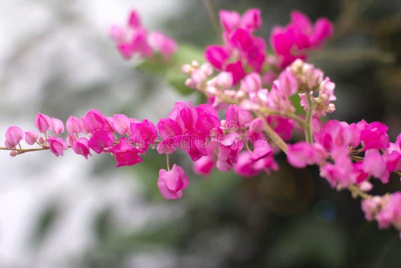 Ljus rosa blommablomning över suddig bakgrund för natur royaltyfria foton