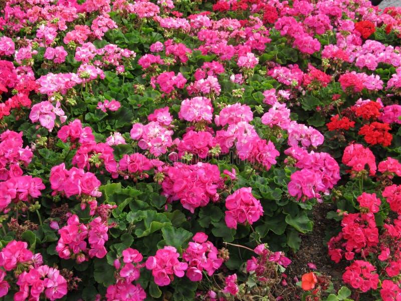Ljus rosa blommaträdgård royaltyfria bilder