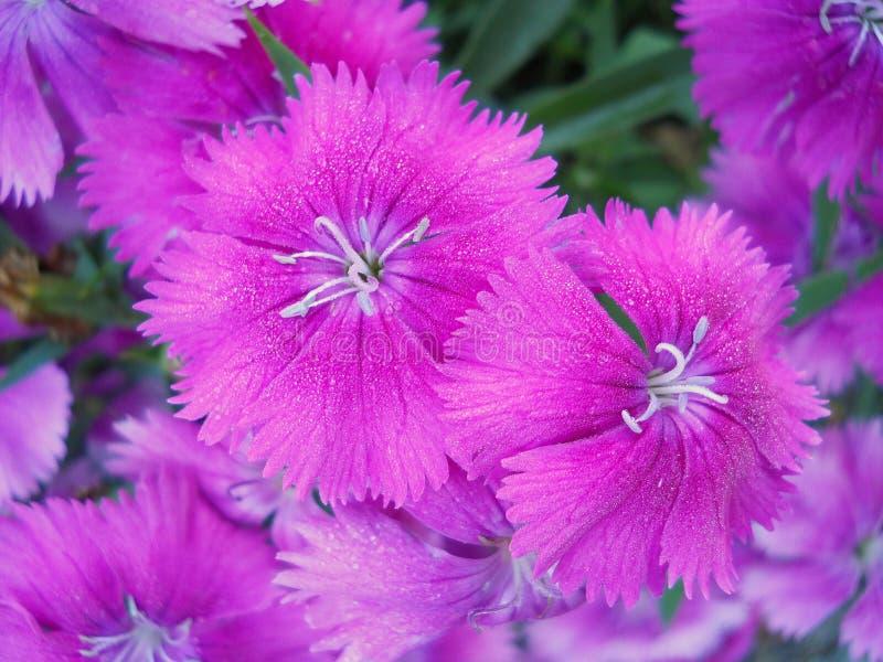 Ljus rosa blomning söta William fotografering för bildbyråer