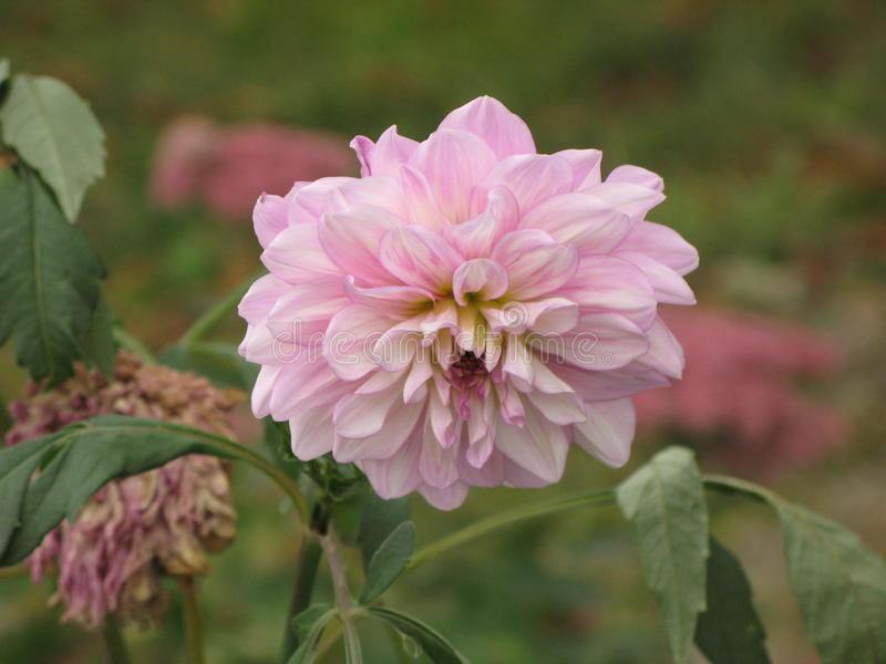 Ljus - rosa dahlia royaltyfri bild