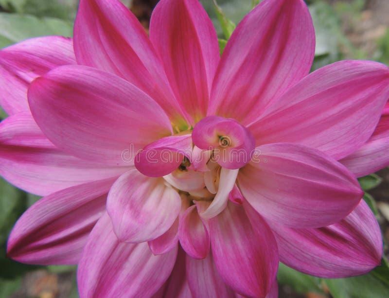 Ljus rosa färgblommadetalj arkivfoto