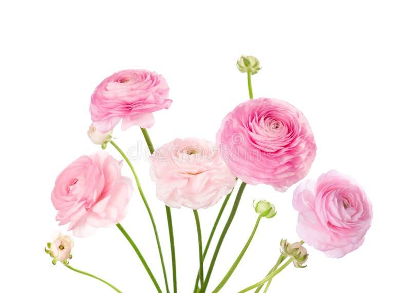 Ljus - rosa färgblommor som isoleras på vit royaltyfri bild