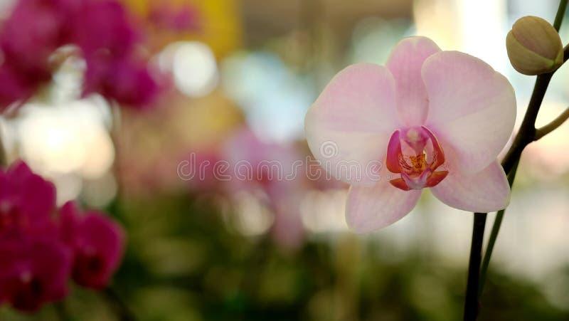 Ljus - rosa Farland orkidé i färgrik blommaträdgård med mjuk fokusbakgrund royaltyfria foton