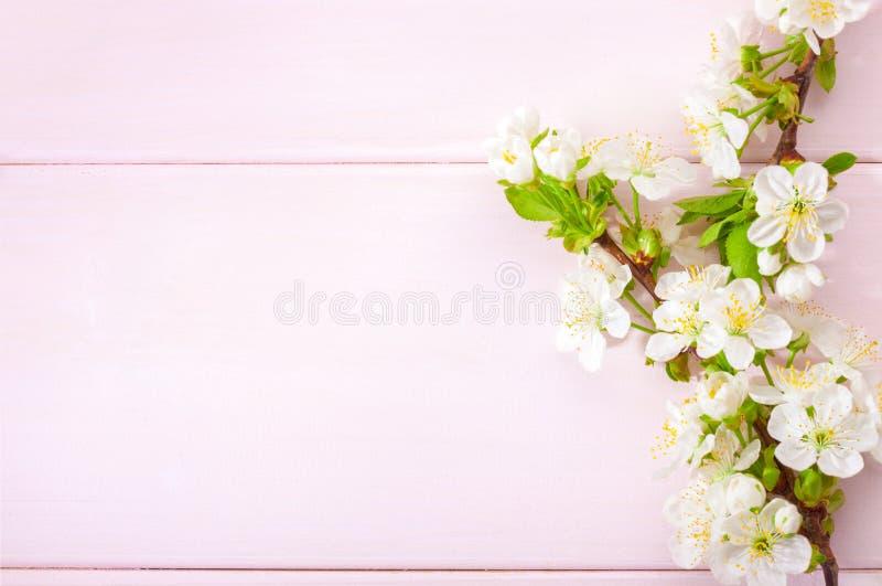 Ljus - rosa träbakgrund med filialer för blomningkörsbär fotografering för bildbyråer