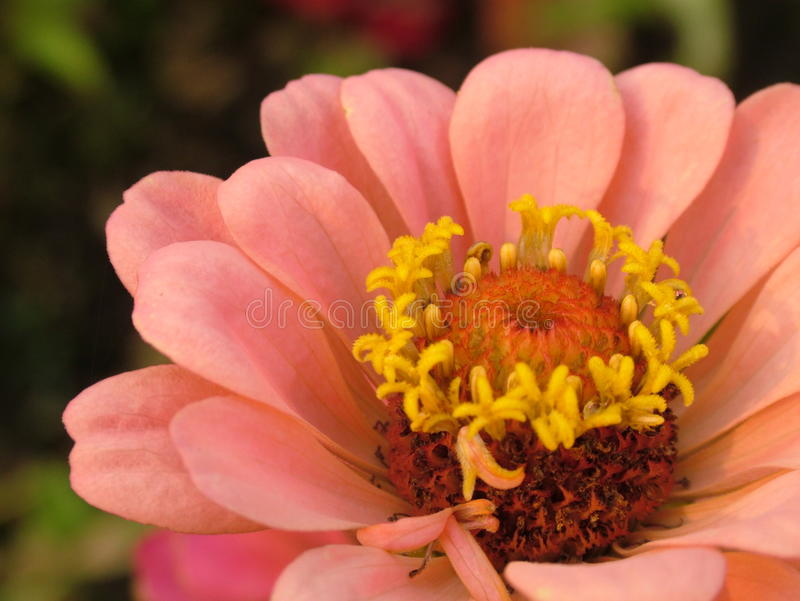 Ljus - rosa tusensköna med den blom- bakgrunden royaltyfri foto