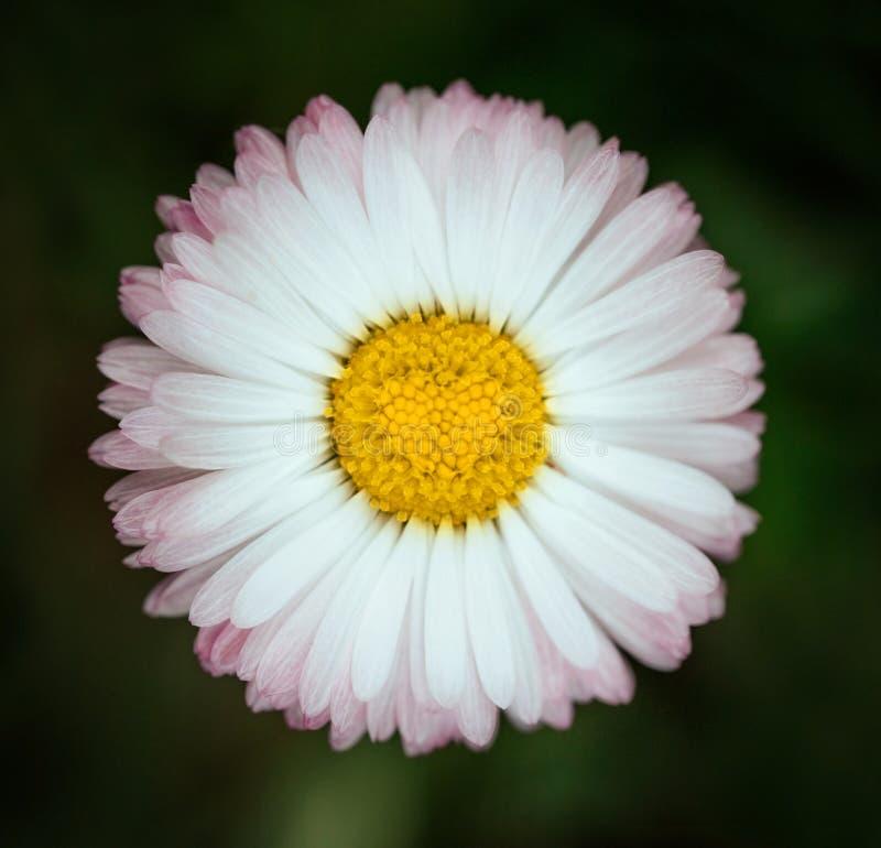 Ljus rosa tusenskönablommacloseup på grön bakgrund Prästkrage med vita rosa kronblad och gul mellersta hjärta med detaljerat royaltyfri fotografi