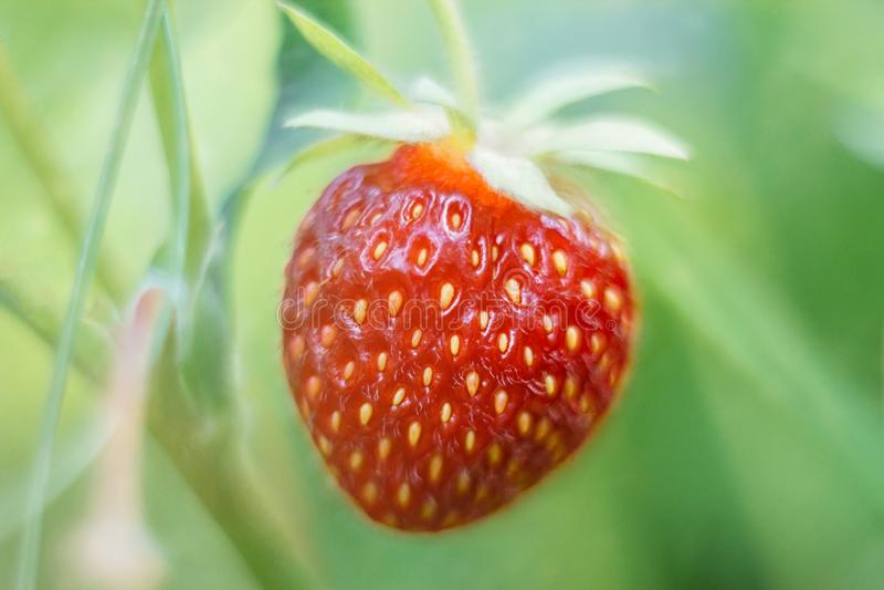 Ljus saftig mogen jordgubbe i tr?dg?rden S?tt r?tt b?r p? en gr?n suddig bakgrund i solljuset Jordgubbar p? en buske royaltyfria foton