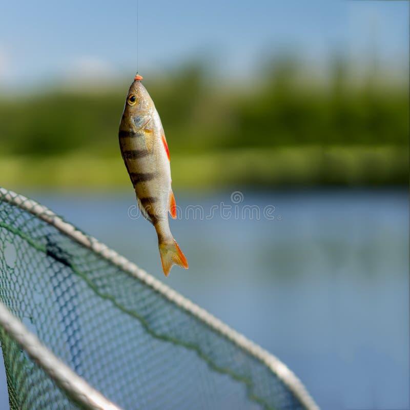 Ljus sittpinnenärbild på fisk-kroken på kanten med larven, varm sommardag, naturlig bakgrund, fyrkant Begreppslycka, framgång arkivbild