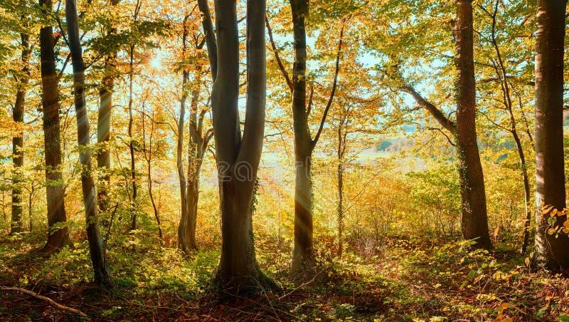 Ljus skog för bokträdträd med sunburst och guld- sidor royaltyfri fotografi
