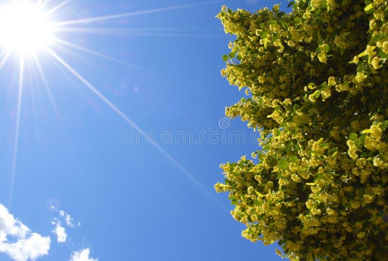 Ljus sol med ett blomningträd royaltyfria foton