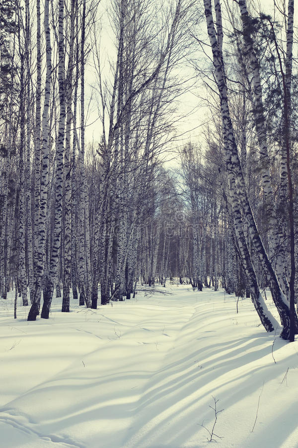 Ljus solig dag i en vinterbjörkskog royaltyfri foto