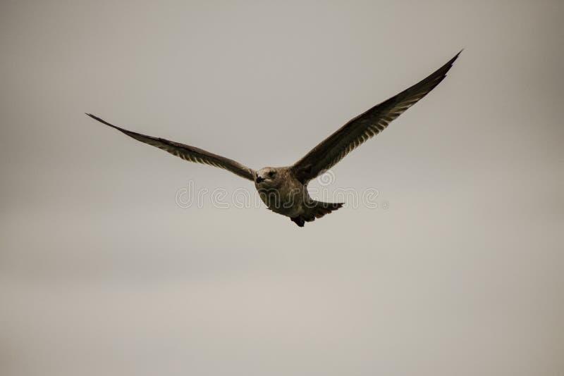 ljus solig flygbildseagull arkivfoton