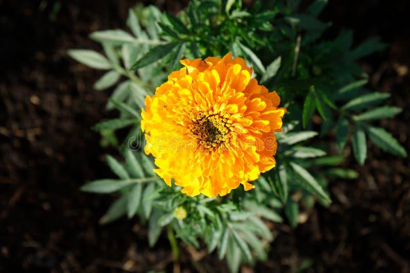 Ljus solig orange blommacloseup fotografering för bildbyråer
